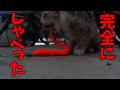 しゃべる子猫